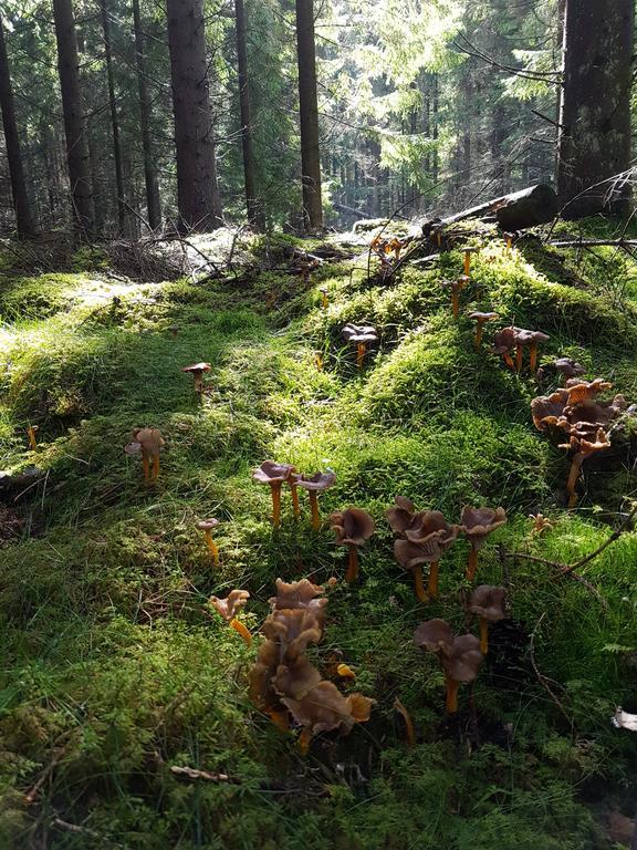 Skog svamp kantareller